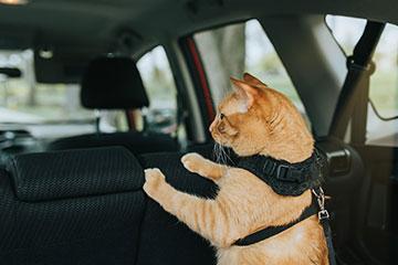 cat-in-harness