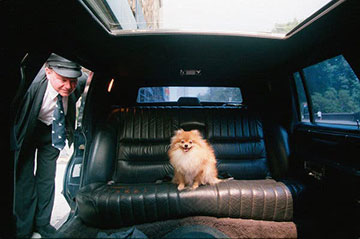 dog in limo